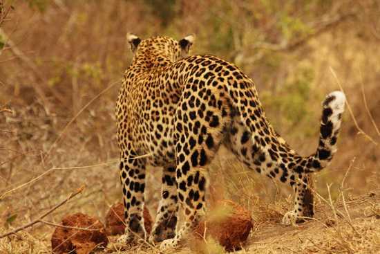 Londolozi & Royal Malewane