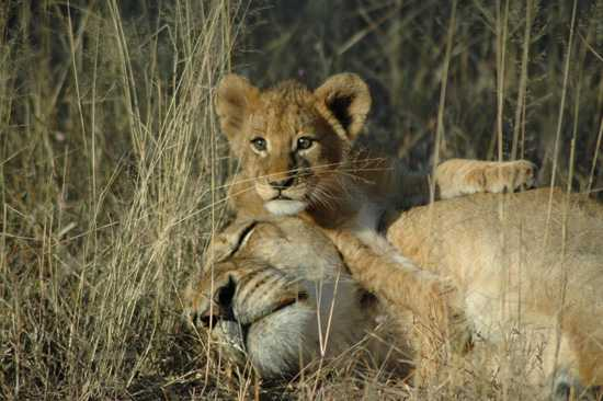 Lions enjoying the sun in the great Lion Sands Game Reserve
