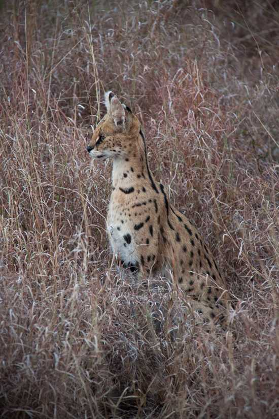 Serval is one of the rarer cats that can be spotted in the African bush