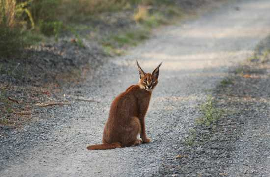 The caracal isa a beautiful and rare Africa wild cat