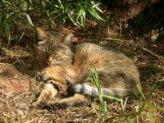 The African wild cat is one of the lesser-known African cats