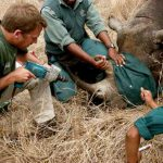 Inserting a transmitter into a Rhino horn