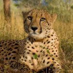 A cheetah with a radio collar