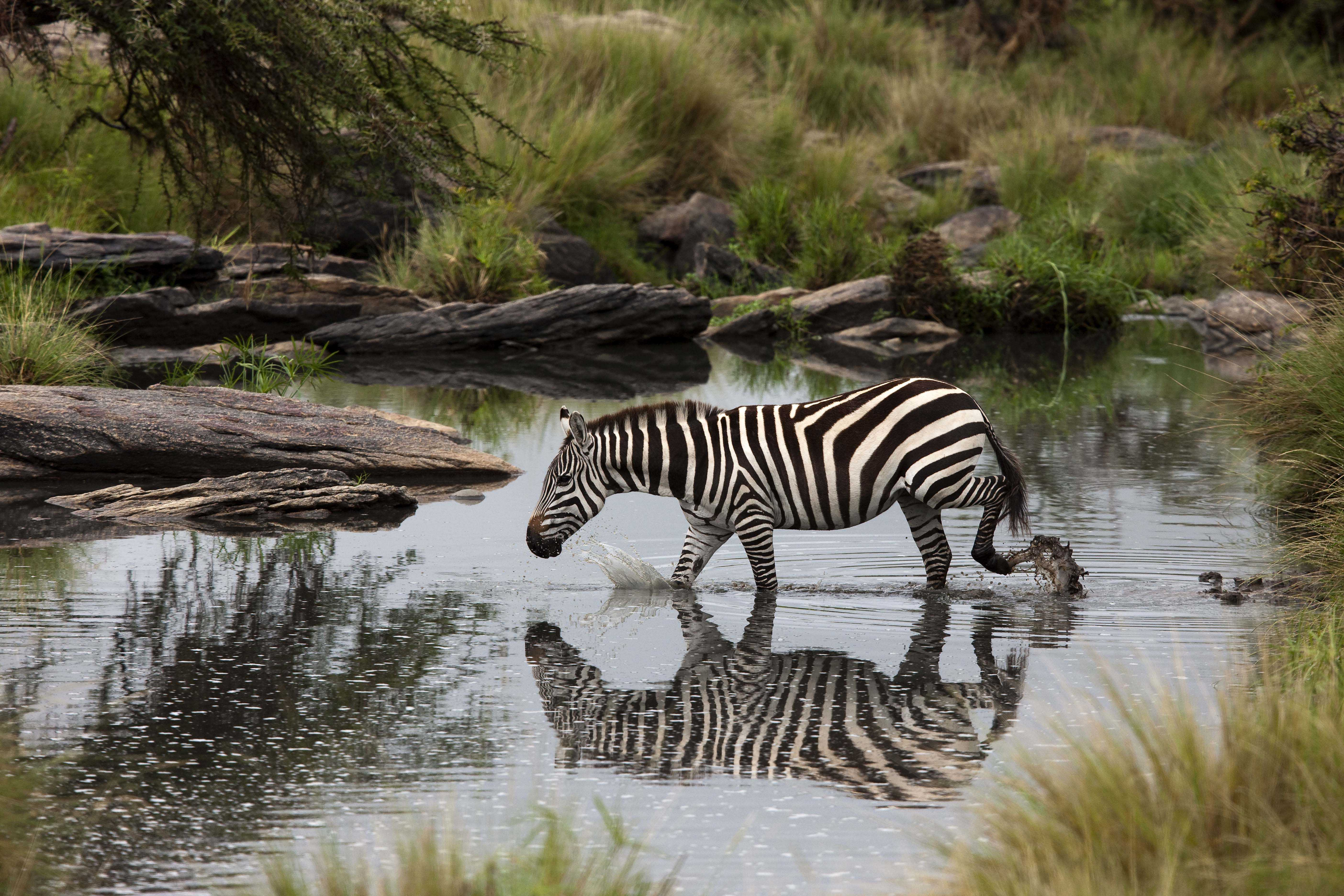 Zebra in Maasai Mara Rhino Africa