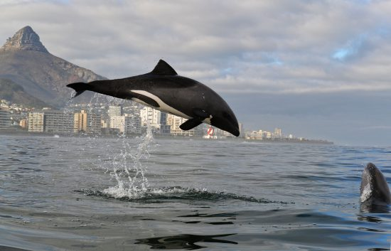 Heaviside's Dolphin in Cape Town Photo by Kaskazi Kayaks