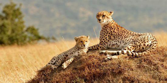 Ein Gepardenweibchen ruht sich gemeinsam mit ihrem Jungen auf einem Felsen aus
