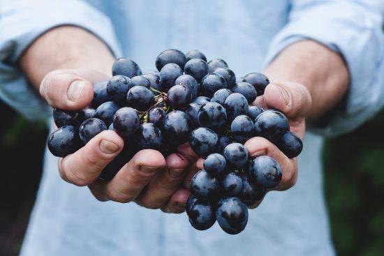 Uvas nas mãos de um produtor