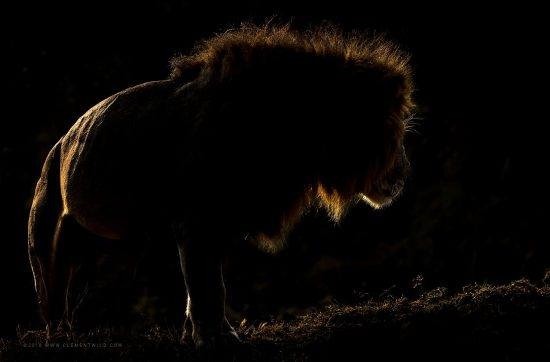 An underexposed image of a male lion at night