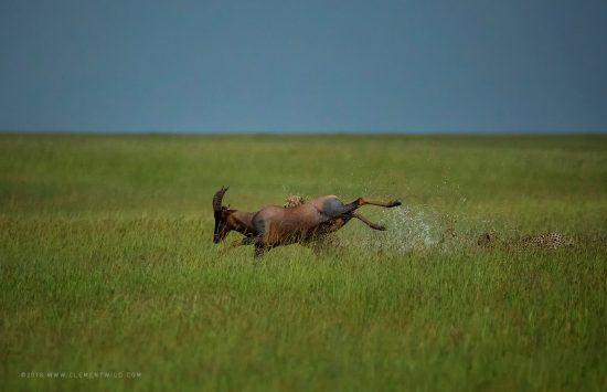 A cheetah bringing down a buck in the grass