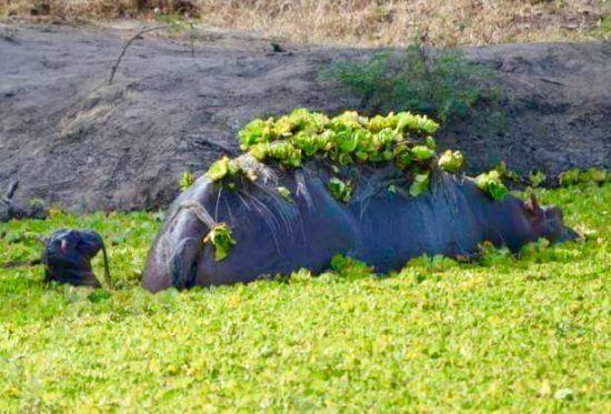 Kleines Flusspferd mit Mutter in einem Gewässer, das mit Pflanzen bewachsen ist