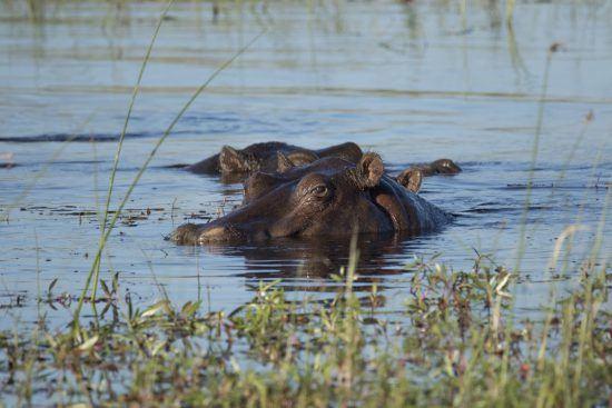 Ein Flusspferd im Wasser