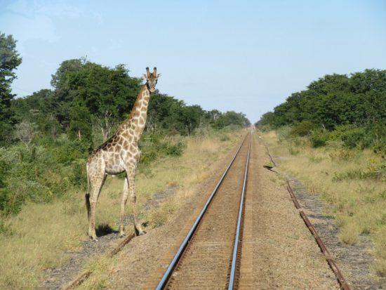 Giraffe an Bahngleisen im Hwange Nationalpark