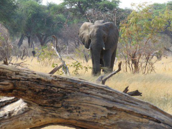 Eléphant dans le parc national du Hwange