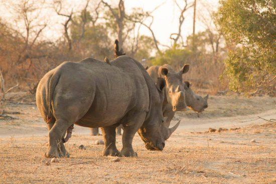 Rhinos at Londolozi in Sabi Sand