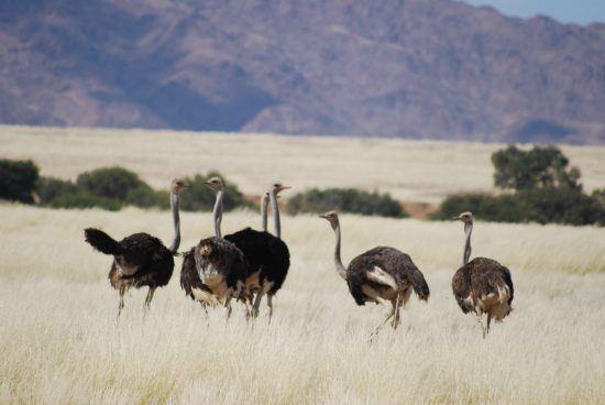 Les autruches en Namibie