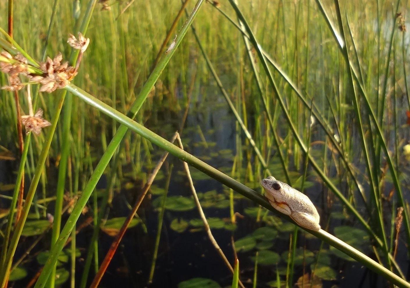 Reed Frog in Botswana