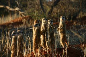 Meerkats at Tswalu Kalahari by Niki