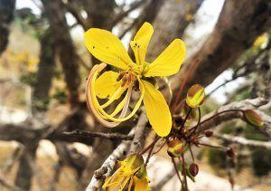 The golden Cassia flower at Silvan Safari