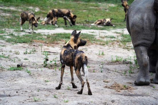 Wild dogs and rhinos at Silvan